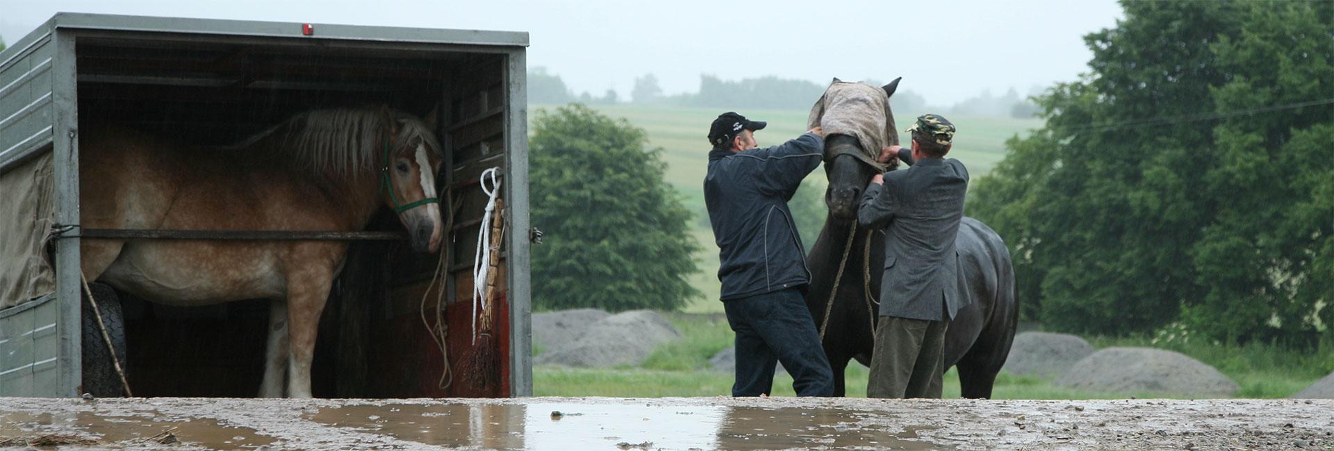 Tiermarkt in Polen: Männer verladen ein Pferd in einen Transporter
