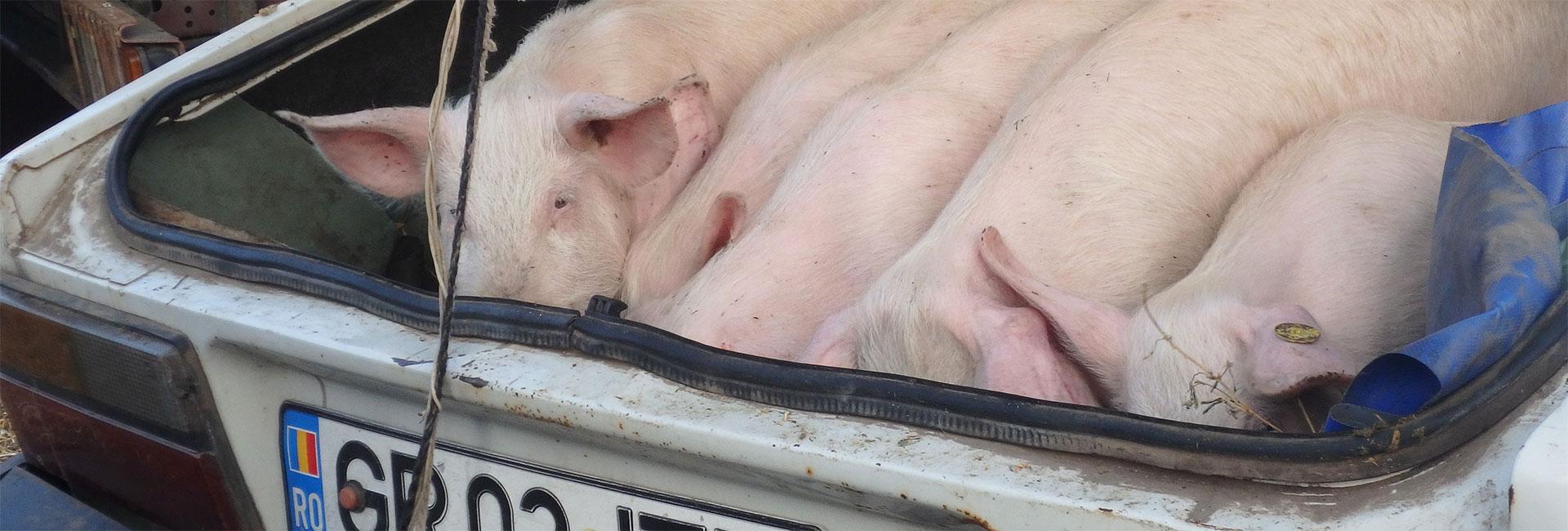 Tiermarkt in Rumänien: Schweine im Kofferraum eines Pkw