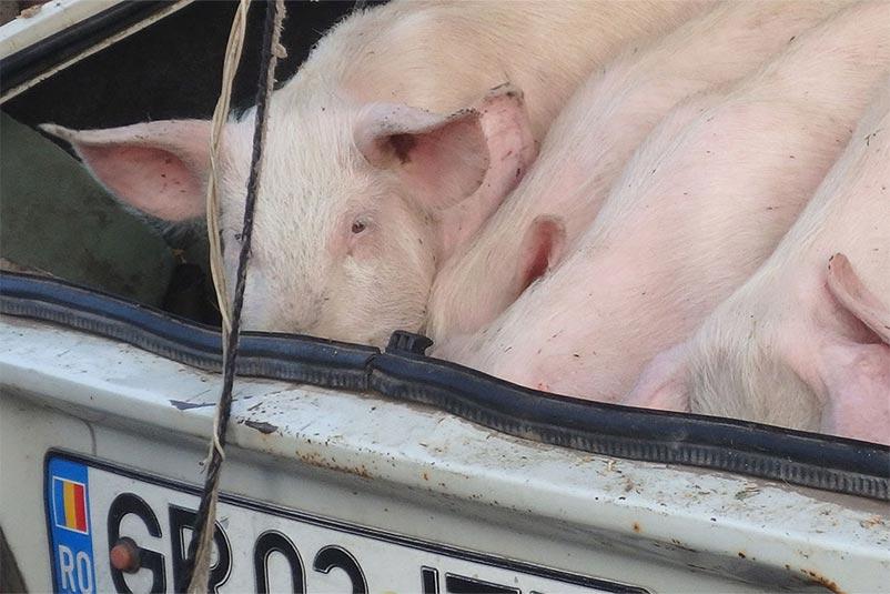 Tiermarkt Rumänien: Schweine im Kofferaum eines Pkw