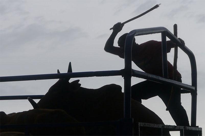 Tiermarkt in Tansania: Rinder werden unter Stockschlägen verladen