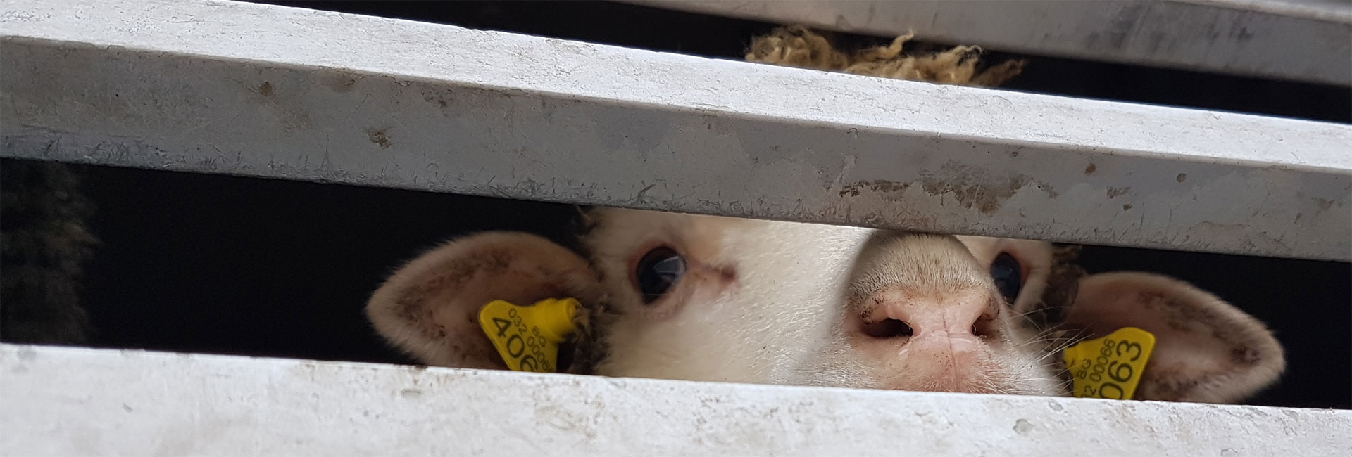 Tiertransporte aus der EU warten an der Grenze zur Türkei