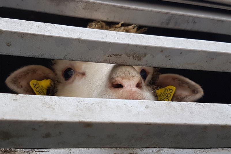 Tiertransport mit Schafen aus der EU in die Türkei