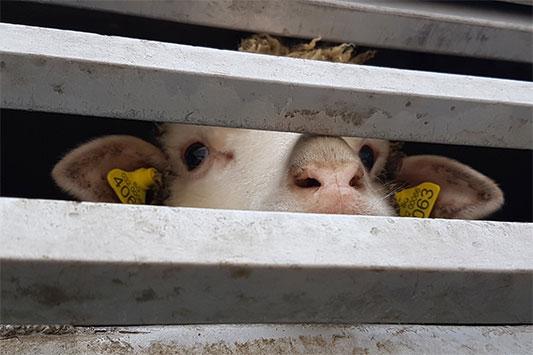 Tiertransport aus der EU in die Türkei: Ein Schaf schaut durch die Seitenstangen des Lkw