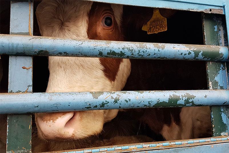 Tiertransport mit Rindern in Europa