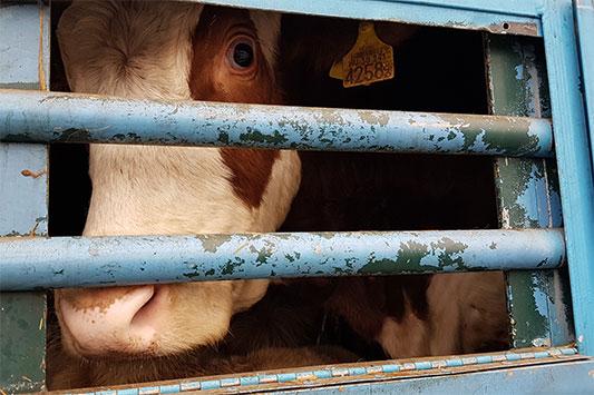 Tiertransport in der EU: Ein Rind schaut aus dem Lkw
