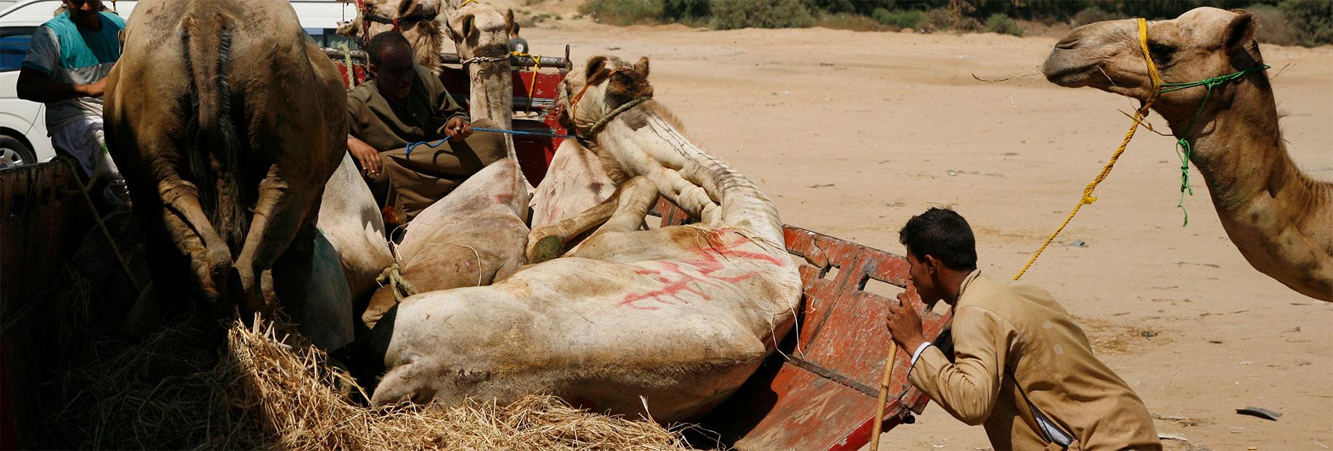 Tiertransport mit Kamelen: Verladung auf einem Tiermarkt in Ägypten