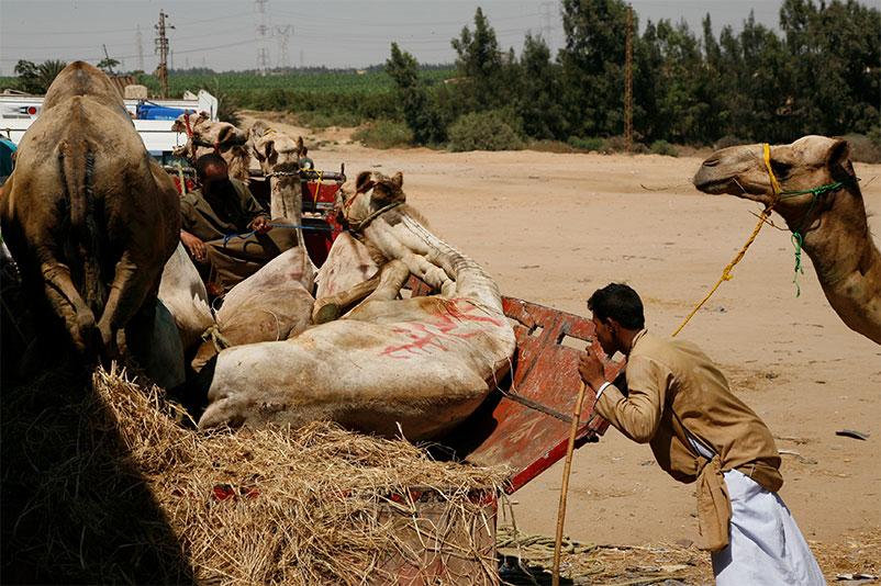 Tiertransport in Ägypten: Kamele werden verladen