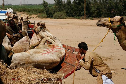 Kamele bei der Verladung auf einen Transporter in Ägypten