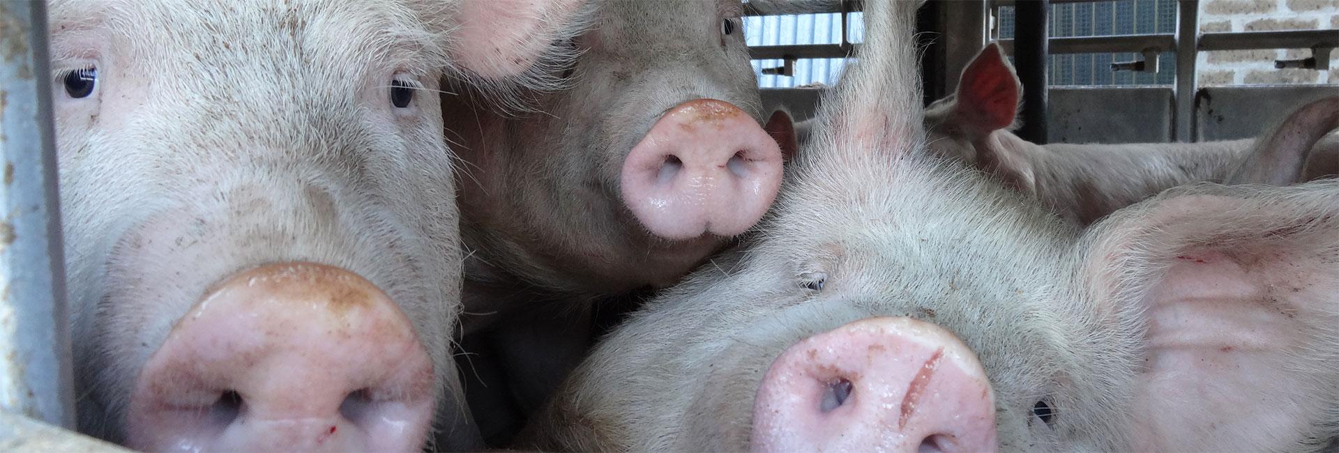 Schweine in einem Tiertransport