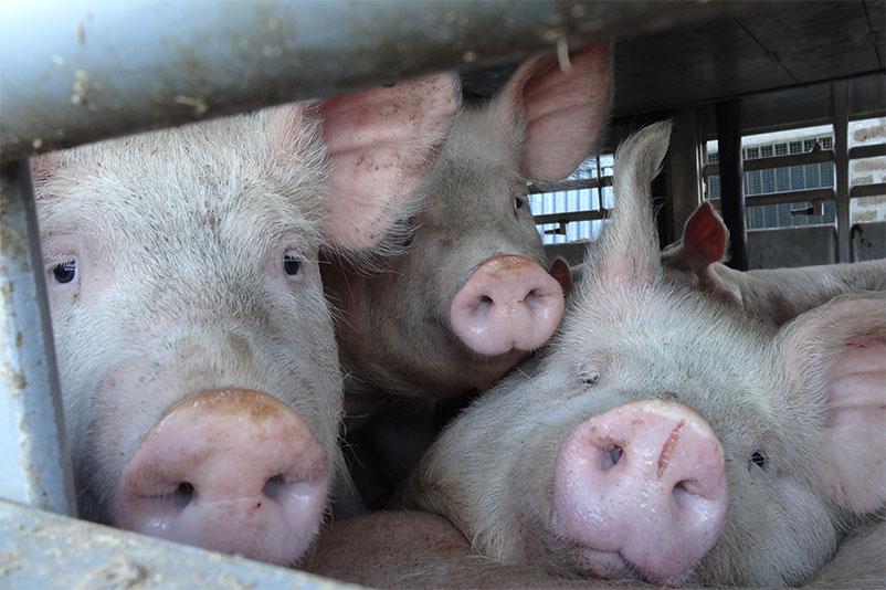 Schweine an Bord eines Tiertransporters