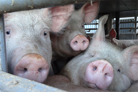 Animal Transport in the EU: Pigs are Looking out of the Vehicle