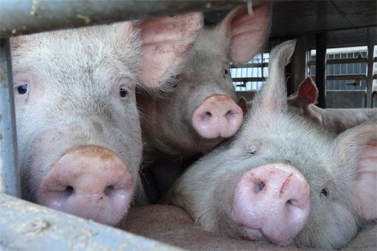 Tiertransport in der EU: Schweine schauen aus dem Fahrzeug