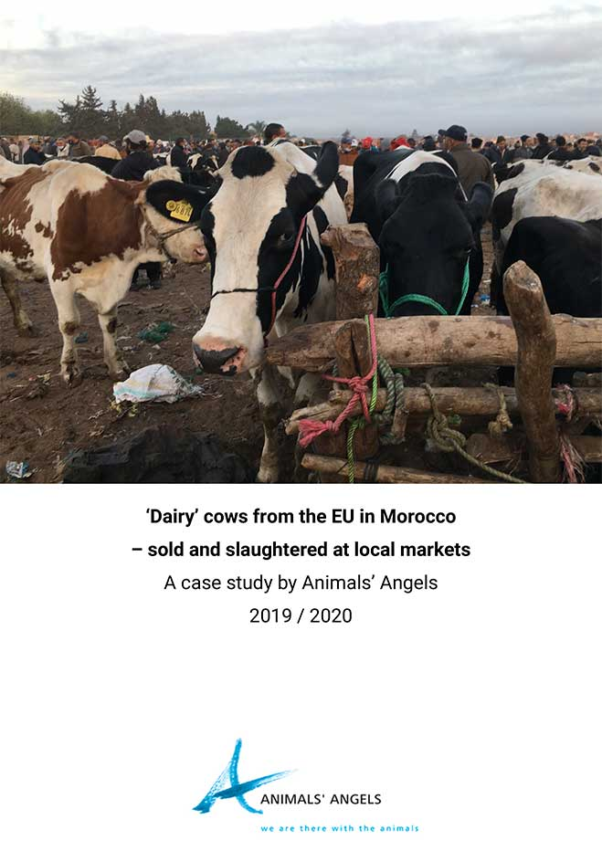 Dairy Cows From the EU in Morocco Sold and Slaughtered at Local Markets