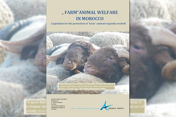 Farm Animal Welfare in Morocco