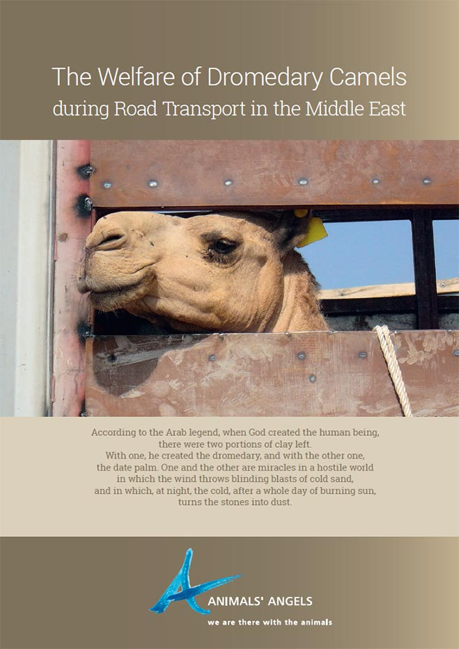 [Translate to englisch:] The Welfare of Dromedary Camels during Transport