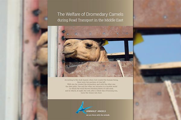 The Welfare of Dromedary Camels During Transport