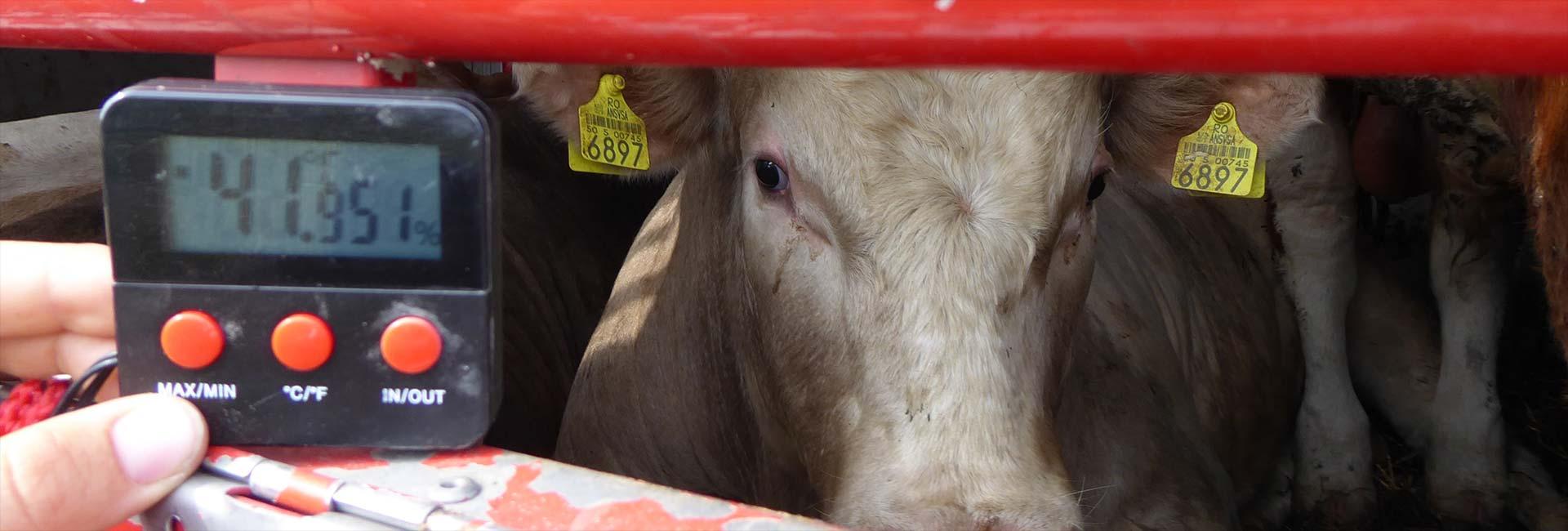 Tiertransport im Sommer bei mehr als 40 °C im Innenraum
