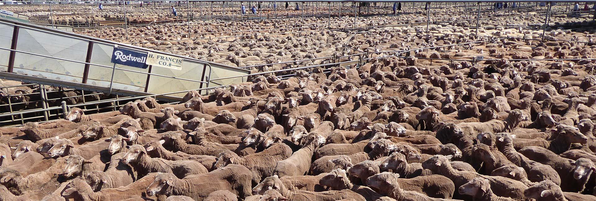 Tausende Schafe auf einem Saleyard in Australien