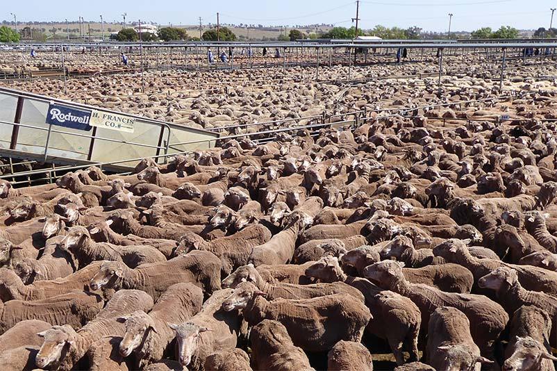 Tausende Schafe auf einem Saleyard Australien