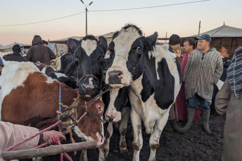 Die deutsche Kuh Elisa (rechts) steht angsterfüllt auf einem Markt in Marokko.