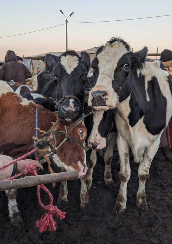 Die deutsche Kuh Elisa (rechts) auf einem Markt in Marokko