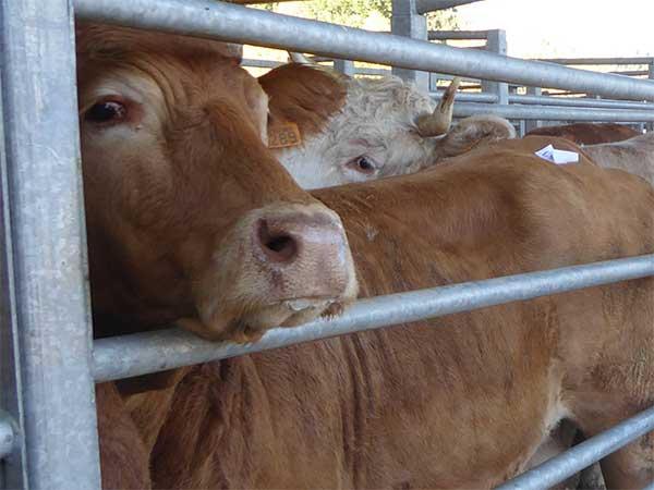 Rinder in Treibgängen auf einem Tiermarkt in Frankreich