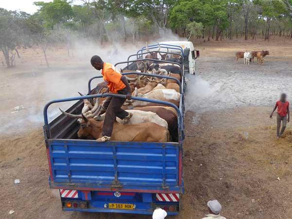 Ein Tiertransporter mit Rindern auf dem Tiermarkt in Mtyangimbole, Tansania