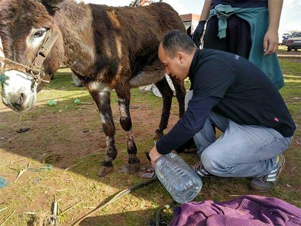 Boubaker versorgt die Wunde am Bein eines Esels auf dem Markt von Mers El Kheir, Marokko