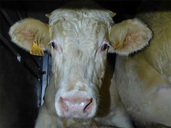 Tiertransport in der EU: Rinder mit viel zu wenig Platz an Bord
