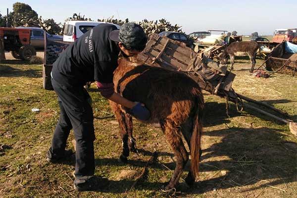 Animals' Angels im Einsatz für die Tiere auf dem Tiermarkt in Skherat, Marokko