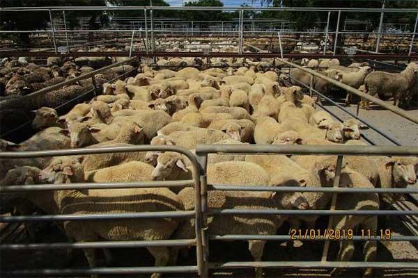 Sheep in pen at Dubbo Saleyard, Australia