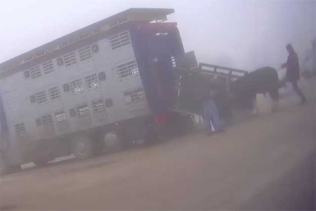 Bodzentyn Animal Market: A Cow is Being Kicked During Loadind