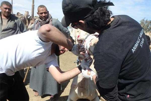 Gemeinsam mit zwei jungen Tierärzten versorgt Animals' Angels die Kamele in Birqash
