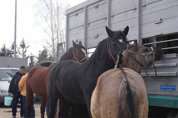 Horse Tied to Transport Vehicles at Skaryszew Horse Market