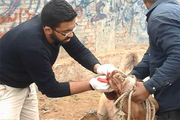 Tierarzt Omar versorgt ein Kamel auf dem Tiermarkt in Birqash, Ägypten