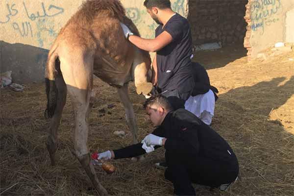 Das Team von Animals' Angels hilft verletzten Kamelen auf dem Tiermarkt in Biqash, Ägypten