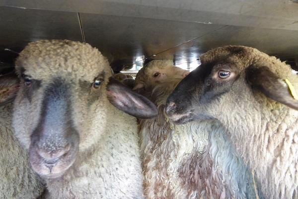 Animals' Angels kontrolliert Transporte von Lämmern vor dem orthodoxen Osterfest