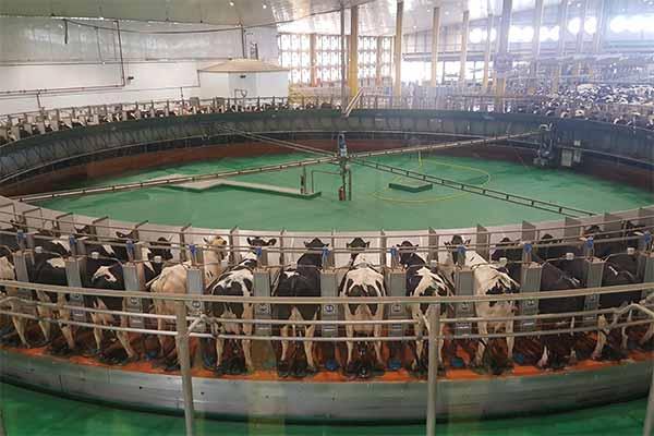 Hunderte Kühe in einem Melkkarussell auf einer Mega-Milchfarm in Katar