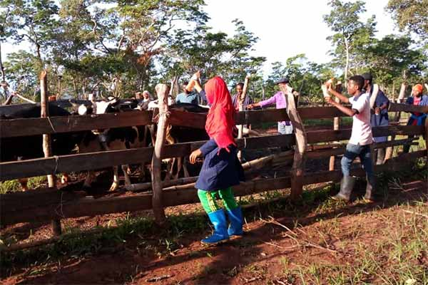 Studenten am Landwirtschaftscollege in Madaba treiben die Rinder mit Shaker Bottles anstatt mit Stockschlägen