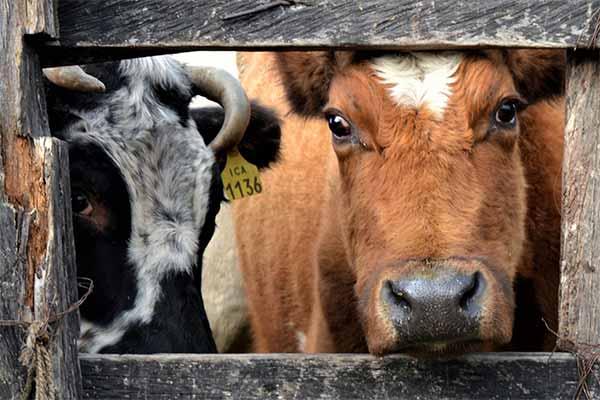 Zwei Rinder auf einem Tiermarkt in Kolumbien nördlich von Bogota