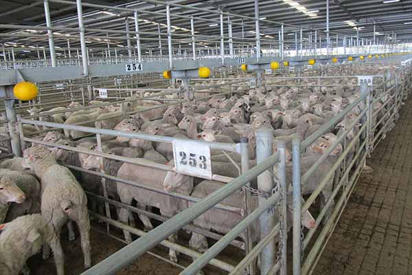 Schafe in einem überfüllten Pferch auf einem Saleyard in Australien