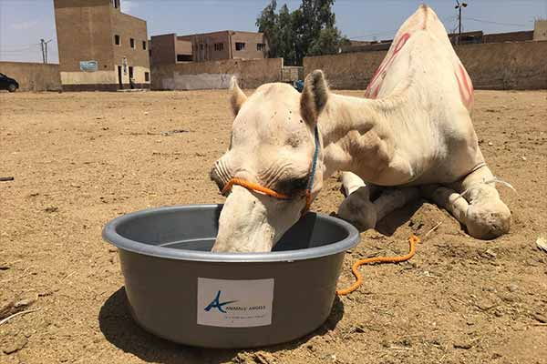 Animals' Angels is Helping the Animals at Birqash Camel Market, Egypt