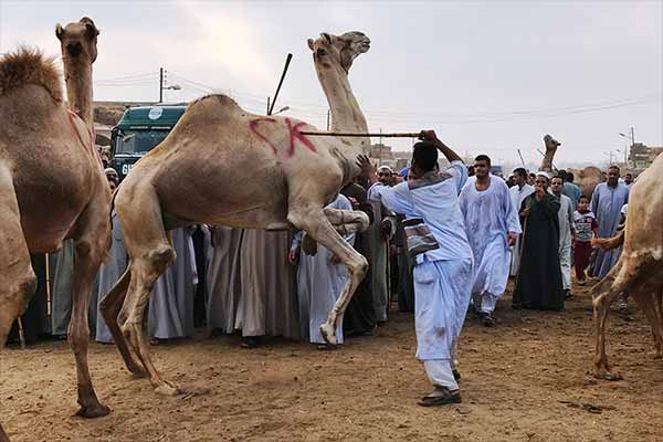 Camel Market Birqash: Brutal Treatment of the Animals