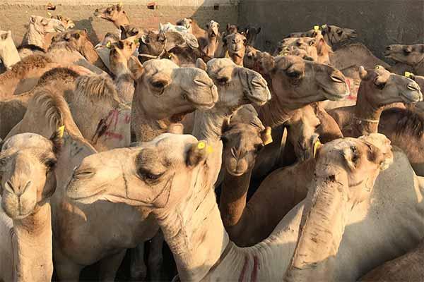 Zahlreiche Kamele auf dem Tiermarkt in Birqash in Ägypten