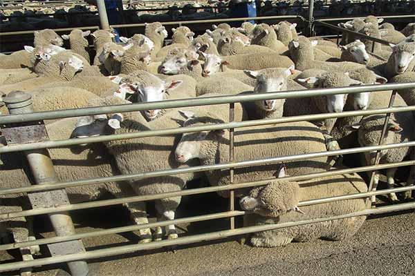 Zu viele Schafe in dern Pferchen auf einem Saleyard in Australien