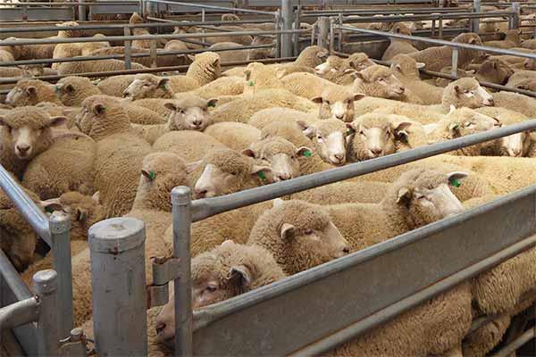 Schafe in einem Pferch auf einem Saleyard in Australien