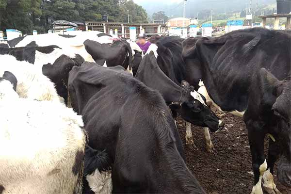 Abgemagerte Kühe auf dem Tiermarkt in Zipaquirá, Kolumbien
