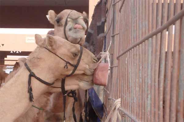Kamele auf dem Tiermarkt in Al Ain, UAE