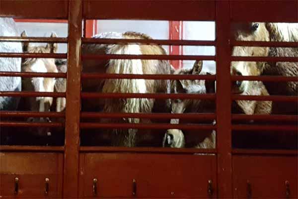 Pferde auf einem überladenen Tiertransport von Spanien nach Italien