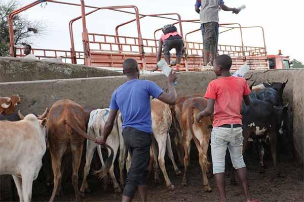 Rindermarkt in Tansania: Arbeiter treiben die Rinder mti Shaker-Bottles anstatt mit Schlagstöcken